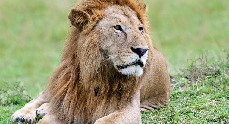 What Color Are a Lion's Eyes?