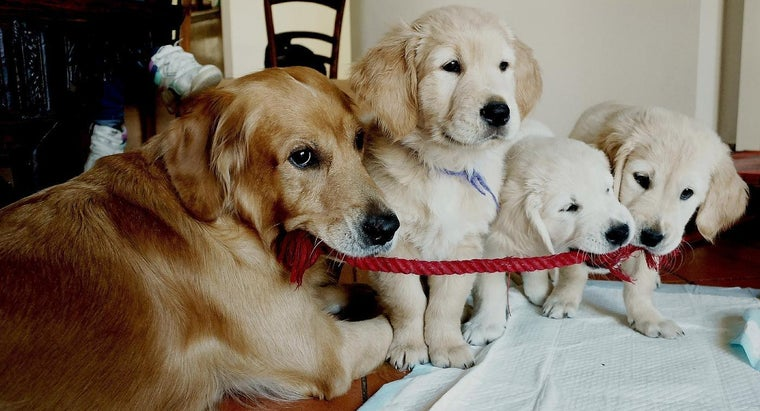 What Colors Can a Golden Retrievers Be?