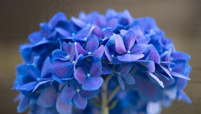 What Colors Do Hydrangeas Come In?