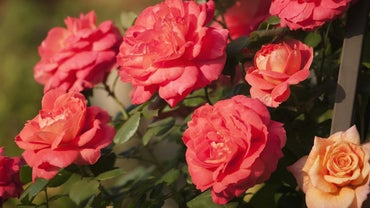 What Colors Do Roses Come in Naturally?