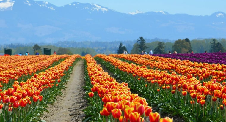 What Colors Do Tulips Come In?
