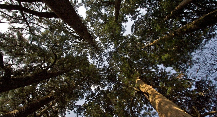 What Are Some Common Characteristics of Cedar Trees?