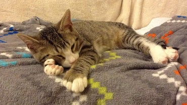 How Common Are Polydactyl Cats?