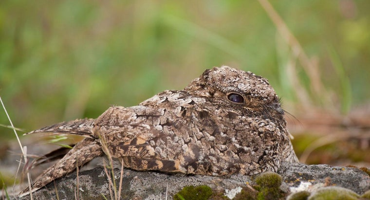 What Is the Only Bird That Hibernates?