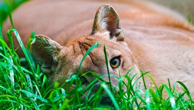 What Is the Comparison of the Mountain Lion Versus the Cougar?