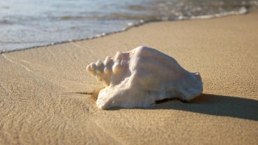 Where Are Conch Shells Found?