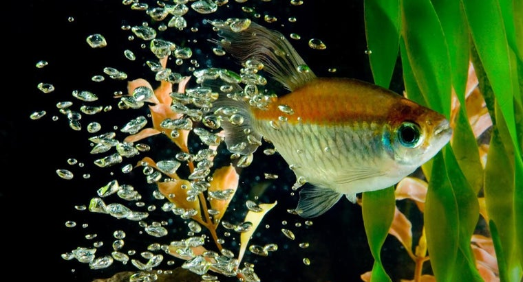 What Is a Congo Tetra?