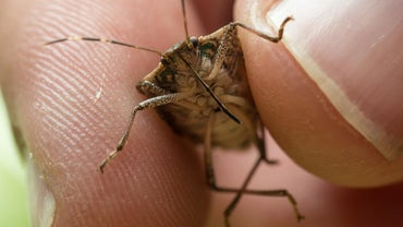 How Do You Control Stink Bugs?