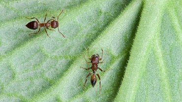 Does Cornstarch Kill Ants?