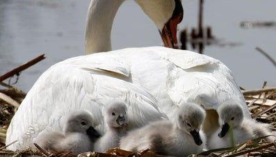 What Is the Correct Name for a Baby Swan?