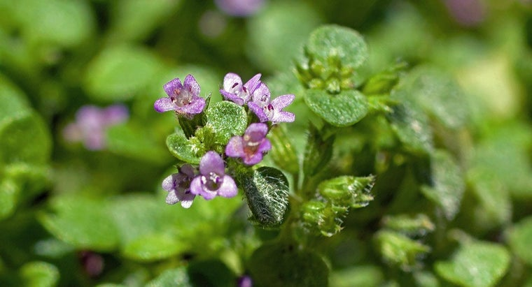 What Is Corsican Mint Used For?