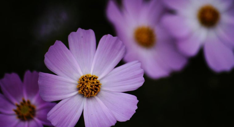 What Are Some Facts About Cosmos Flowers?