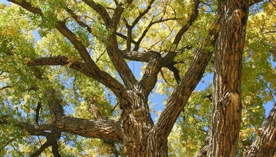 What Is a Cottonless Cottonwood Tree?