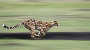 Could a Cheetah Outrun a Car on the Freeway?