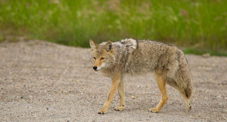 Do Coyotes Have Any Enemies?