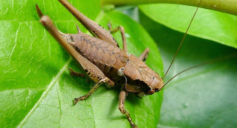 What Do Crickets Eat in the Wild?