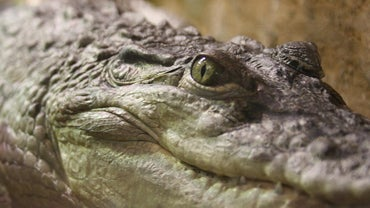 How Do Crocodiles Digest Their Food?