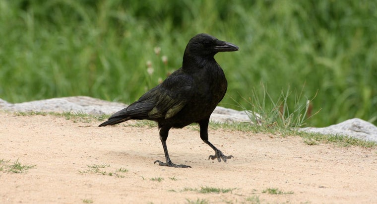 How Are Crows As Pets?