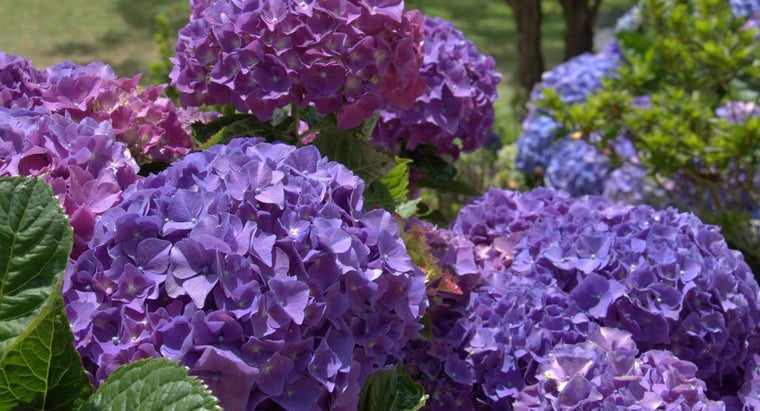 When Do You Cut Back Hydrangeas?