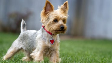 When Is A Female Yorkie In Heat Referencecom