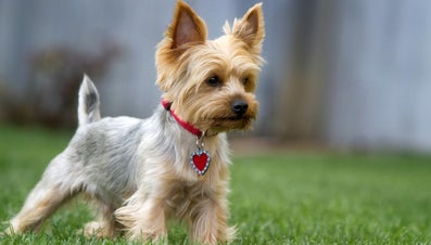 What Are Cute Names for a Yorkie?