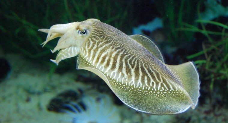What Does a Cuttlefish Use for Camouflage?
