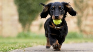 What Do Dachshund Breeders Do?