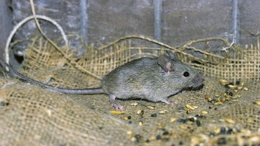 What Are Some Home Remedies For Removing Dead Mouse Odor