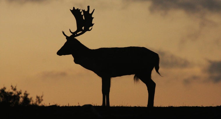 Are Deer Nocturnal or Diurnal?