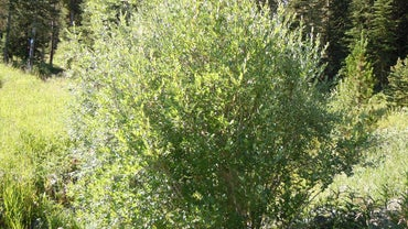 Where Do Diamond Willow Trees Grow?