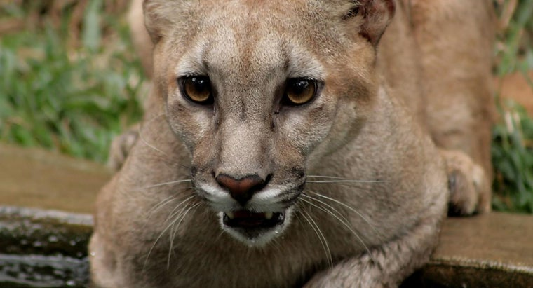 How Did the Puma Get Its Name?
