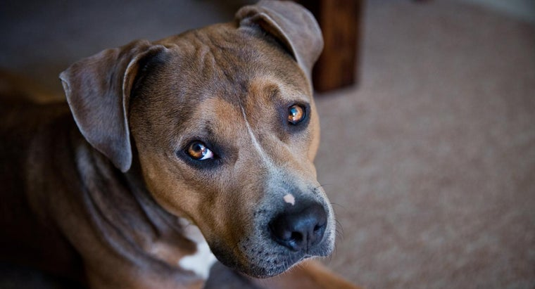 What Is the Difference Between an American Staffordshire Terrier Vs. a Pitbull?