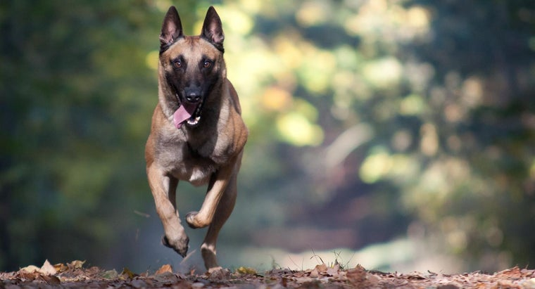 What Is the Difference Between a Belgian Shepherd and a German Shepherd?
