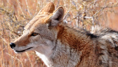 What Is the Difference Between a Coyote and a Dog?