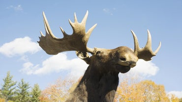 What Is the Difference Between Elk and Moose?