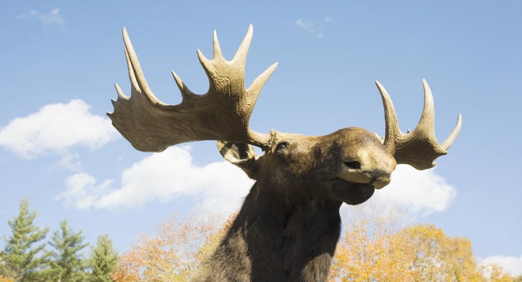 What Is The Difference Between Elk And Moose