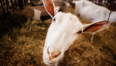 What Is the Difference Between Feta Cheese and Goat Cheese?