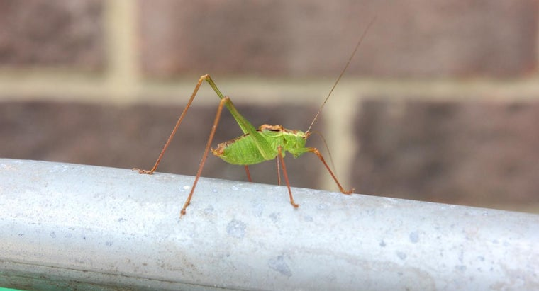 What Is the Difference Between a Grasshopper and a Cricket?