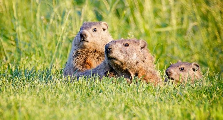 What Is the Difference Between a Groundhog, a Gopher and a Woodchuck?