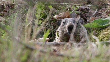 What Is the Difference Between a Groundhog and a Woodchuck?