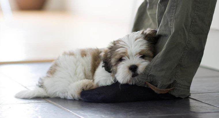 What Is the Difference Between Lhasa Apso and Shih Tzu Dog Breeds?