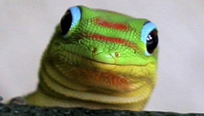What Is the Difference Between Lizards and Geckos?