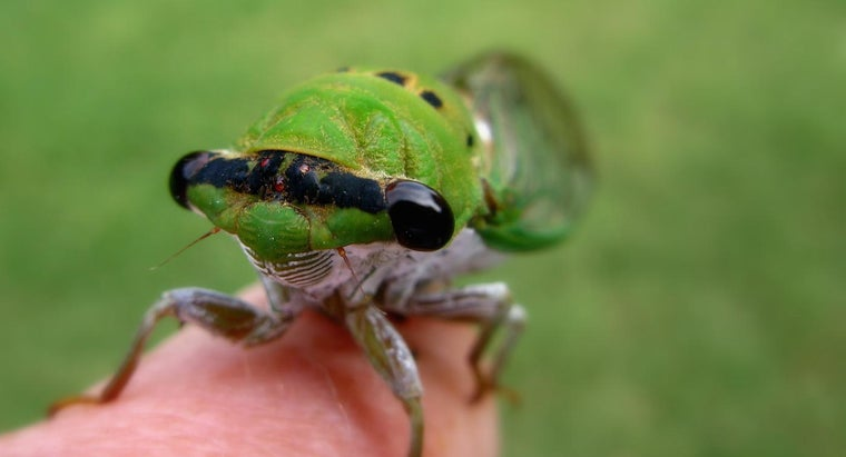 What Is the Difference Between Locusts and Cicadas?