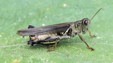 What Is the Difference Between Male and Female Grasshoppers?