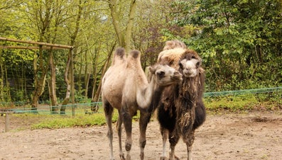 What Is the Difference Between a One Hump and a Two Hump Camel?
