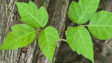 What Is the Difference Between Poison Oak and Poison Ivy?