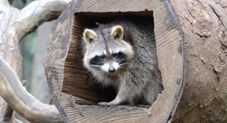 What Is the Difference Between a Raccoon Vs. a Cat?