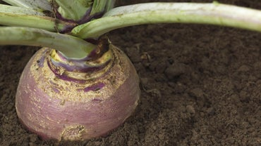 What Is the Difference Between a Turnip and a Swede?