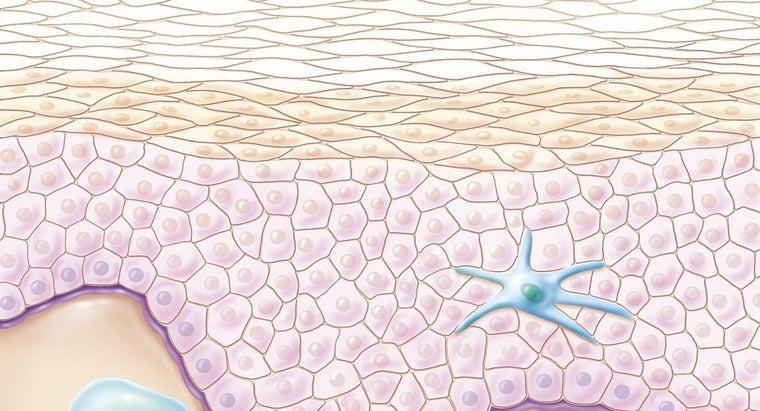 What Is the Difference Between the Upper and Lower Epidermis?