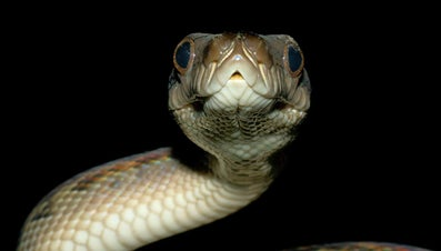 What Are the Differences Between a Boa Vs. a Python?
